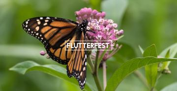 "Photo of butterfly on a flower with the words ""FlutterFest"""